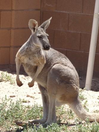 kangaroo zoo las vegas