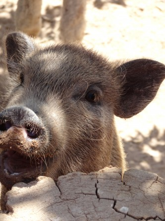 close-up of hog in the petting zoo