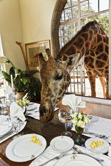 giraffe at the Giraffe Manor in East Africa