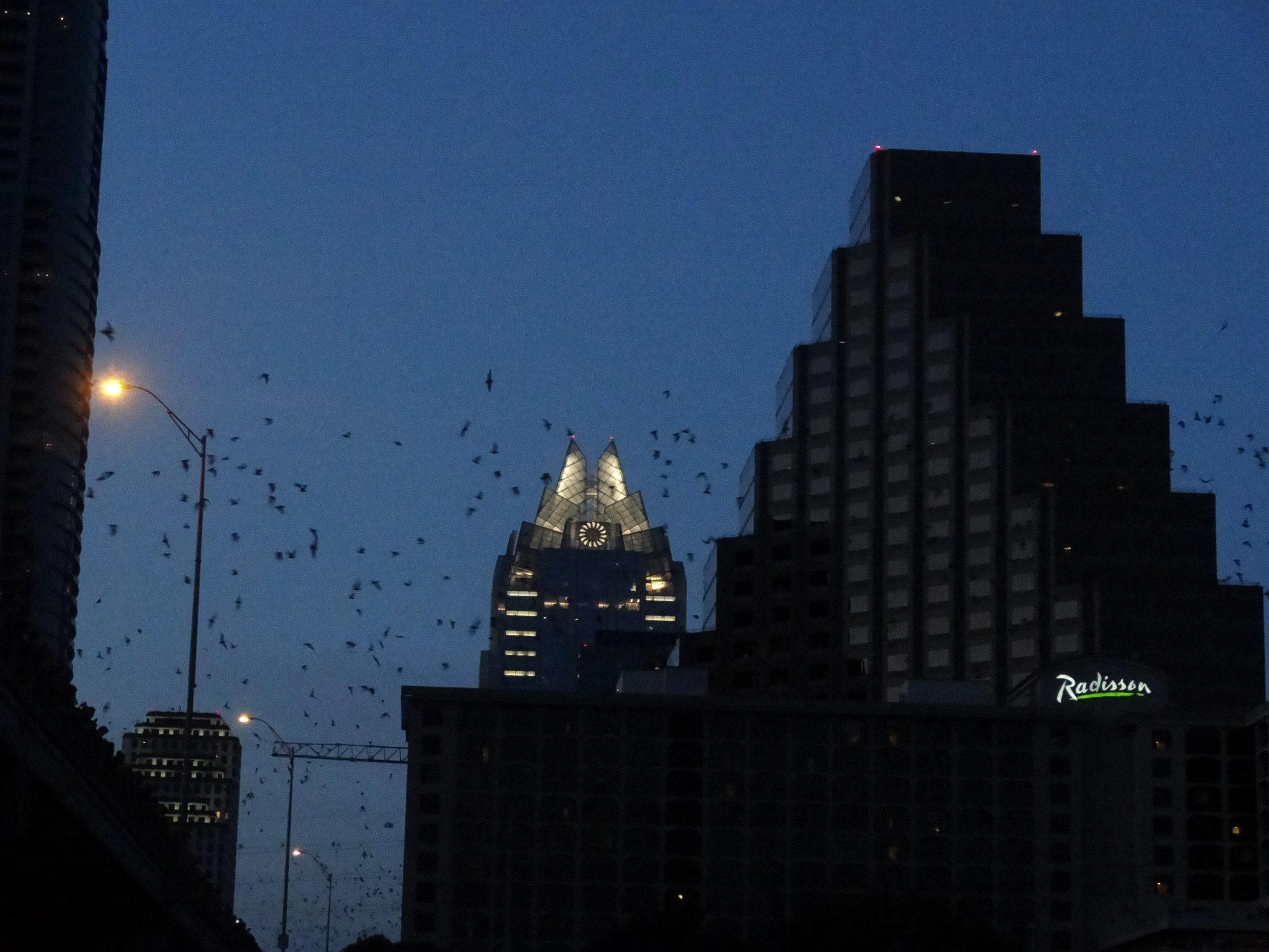 bats flying over South Congress bridge in Austin Texas