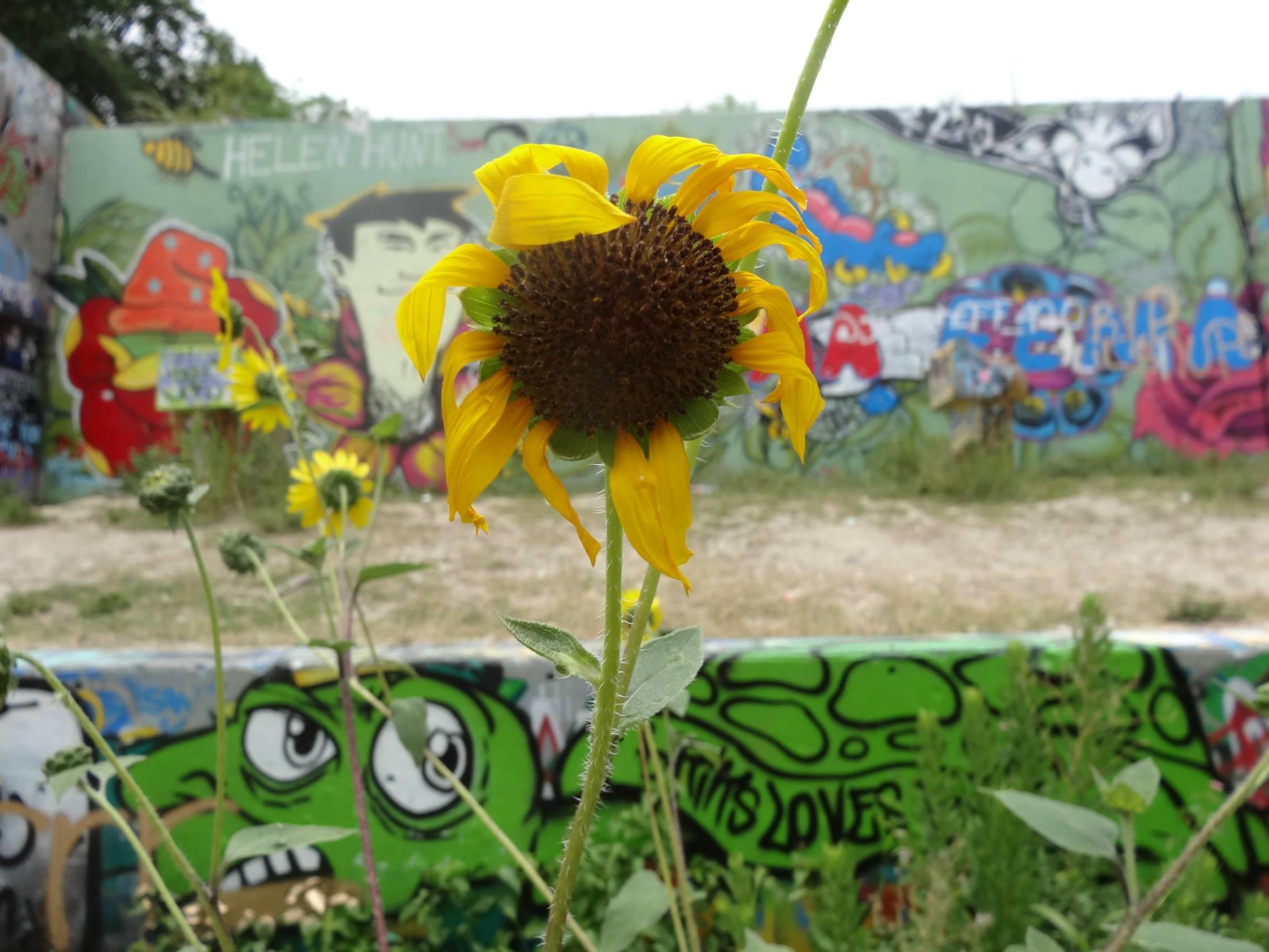 sunflower and graffiti art in Austin